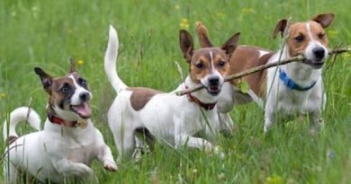 породисти кучета, джак ръсел