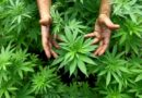 Канада легализира  употребата на марихуана