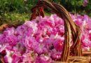 Близо 40% от розовата реколта тази година ще остане несъбрана