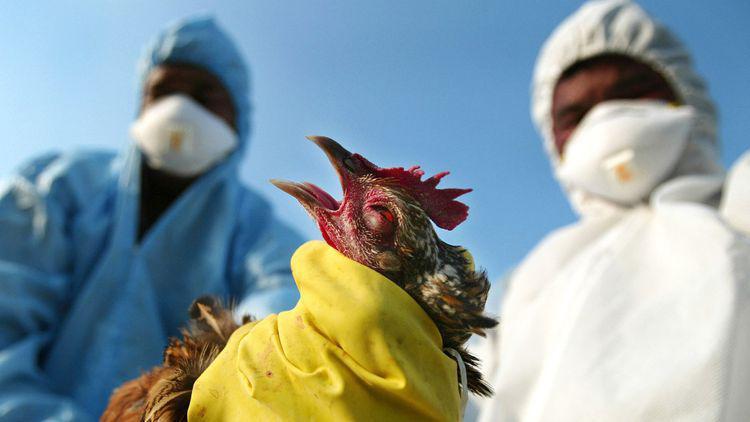 птичи грип