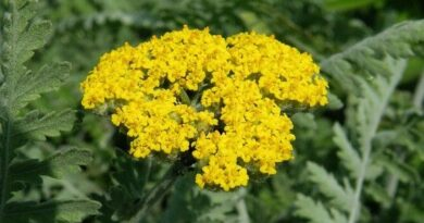 Жълт равнец – приложение на билката