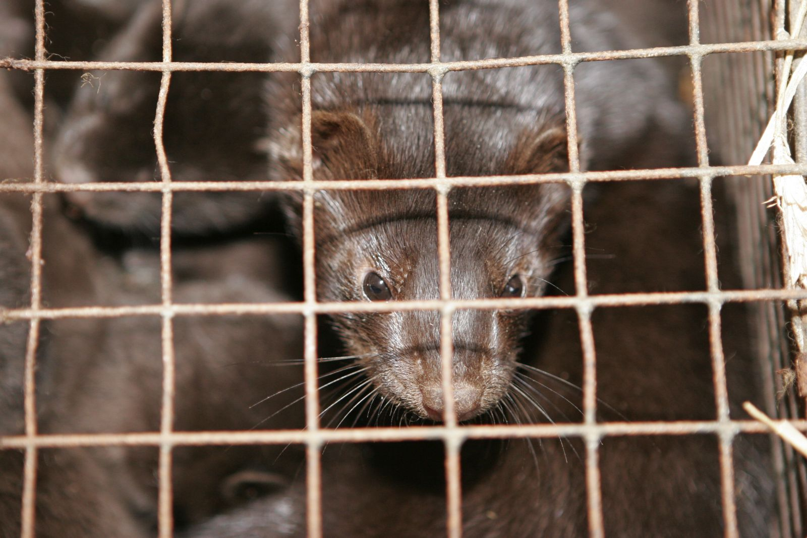 Germany | 2005 06 11 | Young black minks in a cage at a fur farm.